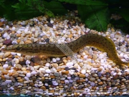 Half-banded spiny eel (L), Miscellaneous - Tropical - Tropicalfish ...