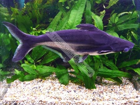 Pangasius catfish growth rate for What is pangasius fish