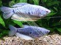 Gourami Blue PAIR (Adult) - click for more details