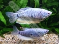 Gourami Blue (Adult) - click for more details