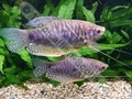 Gourami Mauve (Adult) - click for more details