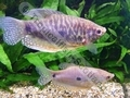 Gourami Mauve - click for more details