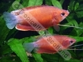 Gourami Red Robin (XL) - click for more details