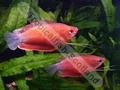 Gourami Red Robin - click for more details