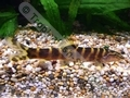 Guilinen's Loach - click for more details