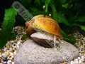 Gold Apple Snail - click for more details