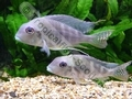 Geophagus Proximus - click for more details