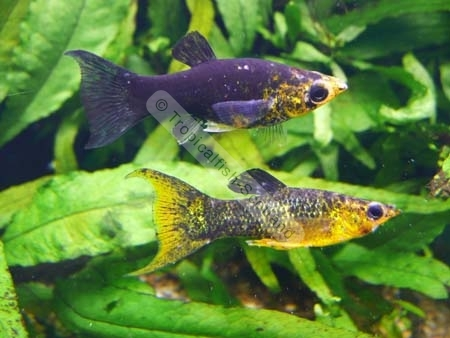 Tropical fish breeding guppies mollies and other livebearers Livebearer aquarium fish