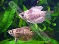 Gourami Chocolate (S) - click for more details