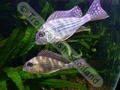 Geophagus Surinamensis (s) - click for more details