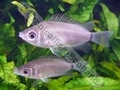 Gourami Kissing Green (Juvenile) - click for more details