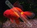 Oranda Red (S) - click for more details