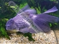 Oranda Blue - click for more details