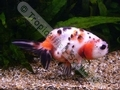 Ranchu Calico - click for more details
