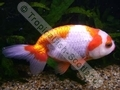 Ranchu Red and White - click for more details