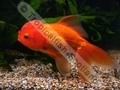 Oranda Red - click for more details