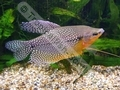 Gourami Pearl (Males) - click for more details