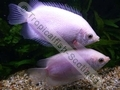 Gourami Kissing Pink (Adult) - click for more details