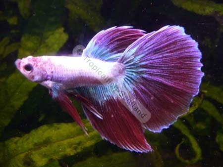 Pink tropical fish for Pink saltwater fish