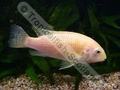 Golden Tropheus - click for more details