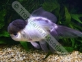 Oranda Panda - click for more details