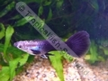 Guppy Half Black - click for more details