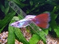 Guppy Blue Body Red Tail - click for more details