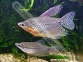 Gourami Pearl (Adult) - click for more details