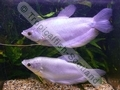 Gourami Moonlight (Adult) - click for more details