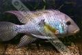 Geophagus Brasiliensis - click for more details