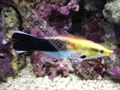 Gold Cleaner Wrasse - click for more details
