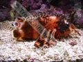 Hochiming Lionfish - click for more details