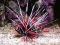 Whitefin Radiata Lionfish - click for more details