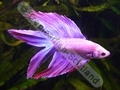 Siamese Male Fighter Lyretail Purple Combodia