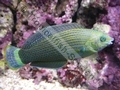 Green Wrasse - click for more details