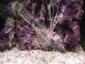 Brown Lionfish - click for more details