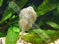 Gold Spot Figure Eight Plec - click for more details
