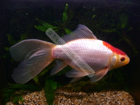 Petal photo sharing for Comet pond fish