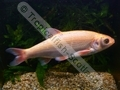 Golden Orfe - click for more details