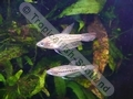 Gourami Sparkling - click for more details