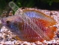 Gourami Dwarf Rainbow (Males) - click for more details