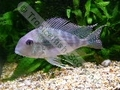 Geophagus Proximus Male (S) - click for more details