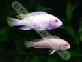 Greshacki Albino - click for more details