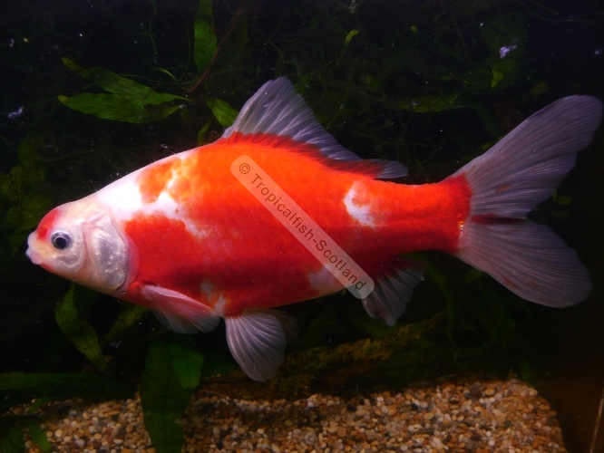 Red and white comet goldfish - photo#6