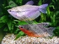 Gourami Pearl Show (PAIR) - click for more details