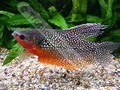 Gourami Pearl Show (Male) - click for more details