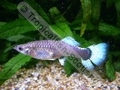 Guppy Female Neon Blue (S) - click for more details