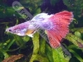 Guppy Red Tail Show - click for more details