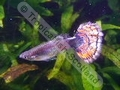 Guppy Varigated Show - click for more details