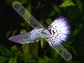 Guppy Green Neon White Tail Show - click for more details